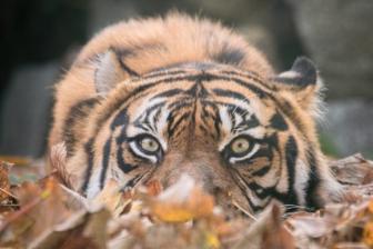 Tygrys samiec Tengah.jpg